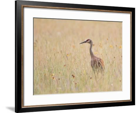Montana, a Sandhill Crane Walks Through a Meadow of Wildflowers-Elizabeth Boehm-Framed Art Print