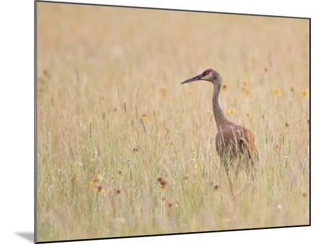 Montana, a Sandhill Crane Walks Through a Meadow of Wildflowers-Elizabeth Boehm-Mounted Photographic Print