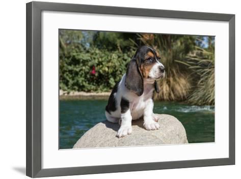 Basset Hound Puppy on a Rock-Zandria Muench Beraldo-Framed Art Print