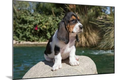 Basset Hound Puppy on a Rock-Zandria Muench Beraldo-Mounted Photographic Print