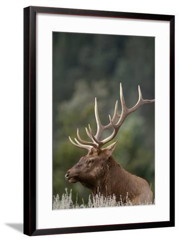 Rocky Mountain Elk Bull in Peak Shape for Fall Rut, Yellowstone National Park, Wyoming, Usa-John Barger-Framed Art Print