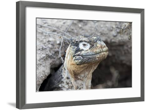 Ecuador, Galapagos Islands, Plaza Sur, Land Iguana,. Female Land Iguana at the Mouth of Her Den-Ellen Goff-Framed Art Print