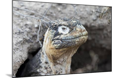 Ecuador, Galapagos Islands, Plaza Sur, Land Iguana,. Female Land Iguana at the Mouth of Her Den-Ellen Goff-Mounted Photographic Print