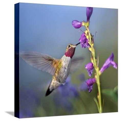 Broad-Tailed Hummingbird at Penstemon, Costa Rica-Tim Fitzharris-Stretched Canvas Print