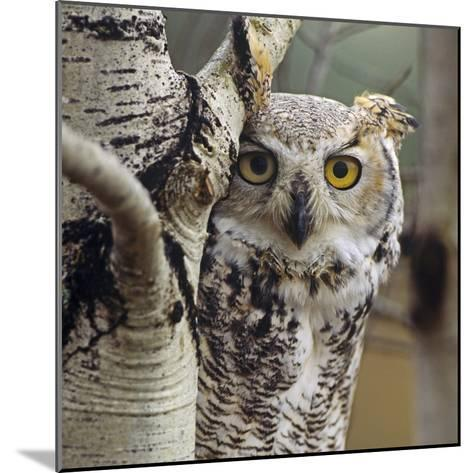 Great Horned Owl Pale Form, British Columbia, Canada-Tim Fitzharris-Mounted Photographic Print