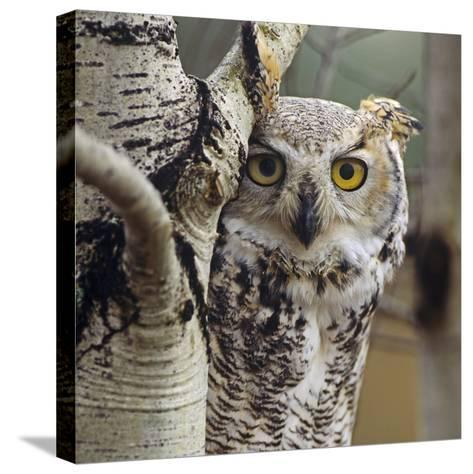 Great Horned Owl Pale Form, British Columbia, Canada-Tim Fitzharris-Stretched Canvas Print