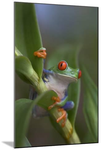 Red-Eyed Tree Frog, Costa Rica-Tim Fitzharris-Mounted Photographic Print