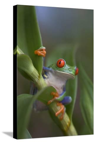 Red-Eyed Tree Frog, Costa Rica-Tim Fitzharris-Stretched Canvas Print