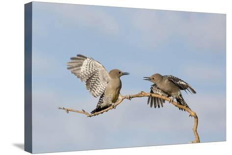Arizona, Buckeye. Two Gila Woodpeckers Interact on Dead Branch-Jaynes Gallery-Stretched Canvas Print