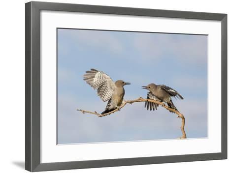 Arizona, Buckeye. Two Gila Woodpeckers Interact on Dead Branch-Jaynes Gallery-Framed Art Print