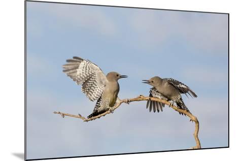 Arizona, Buckeye. Two Gila Woodpeckers Interact on Dead Branch-Jaynes Gallery-Mounted Photographic Print