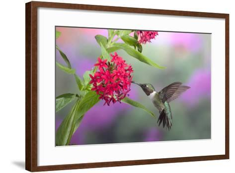 Ruby-Throated Hummingbird Male on Red Pentas, Marion County, Illinois-Richard and Susan Day-Framed Art Print
