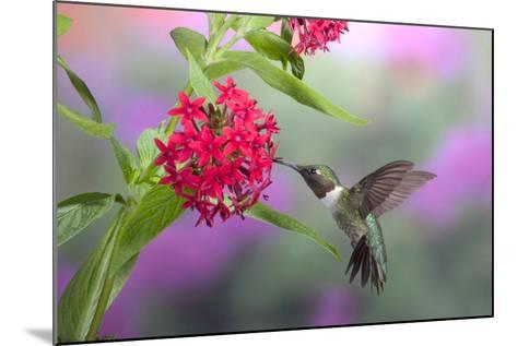 Ruby-Throated Hummingbird Male on Red Pentas, Marion County, Illinois-Richard and Susan Day-Mounted Photographic Print
