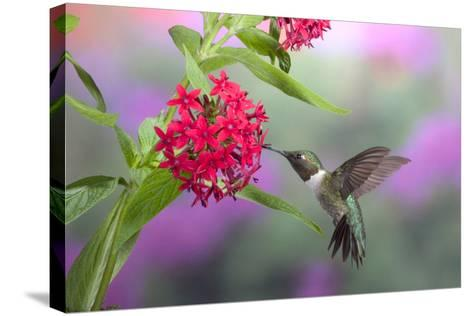 Ruby-Throated Hummingbird Male on Red Pentas, Marion County, Illinois-Richard and Susan Day-Stretched Canvas Print