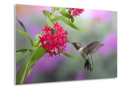 Ruby-Throated Hummingbird Male on Red Pentas, Marion County, Illinois-Richard and Susan Day-Metal Print