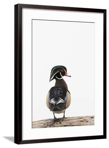 Wood Duck Male on Log in Wetland, Marion County, Illinois-Richard and Susan Day-Framed Art Print