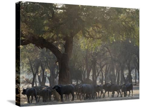 Africa, Zambia. Herd of Cape Buffaloes-Jaynes Gallery-Stretched Canvas Print