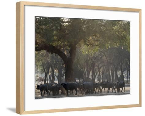 Africa, Zambia. Herd of Cape Buffaloes-Jaynes Gallery-Framed Art Print