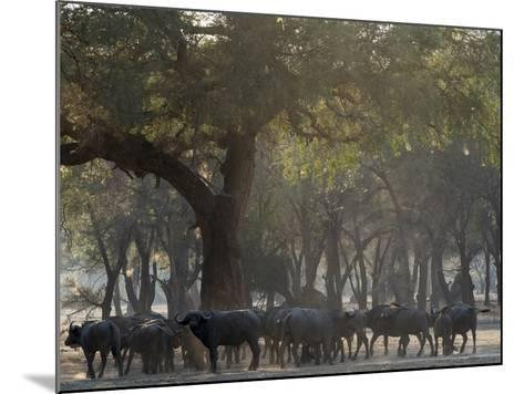 Africa, Zambia. Herd of Cape Buffaloes-Jaynes Gallery-Mounted Photographic Print