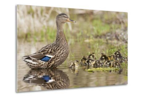 Mallard Hen with Ducklings-Ken Archer-Metal Print