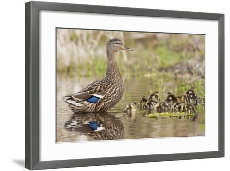 Mallard Hen with Ducklings-Ken Archer-Framed Art Print