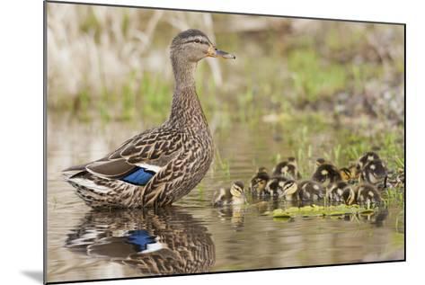 Mallard Hen with Ducklings-Ken Archer-Mounted Photographic Print