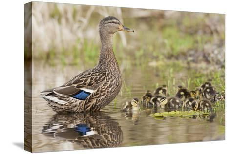 Mallard Hen with Ducklings-Ken Archer-Stretched Canvas Print
