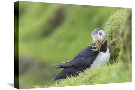 Atlantic Puffin. Scotland, Shetland Islands-Martin Zwick-Stretched Canvas Print