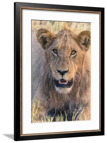 Botswana. Chobe National Park. Savuti. Young Male Lion Resting-Inger Hogstrom-Framed Art Print