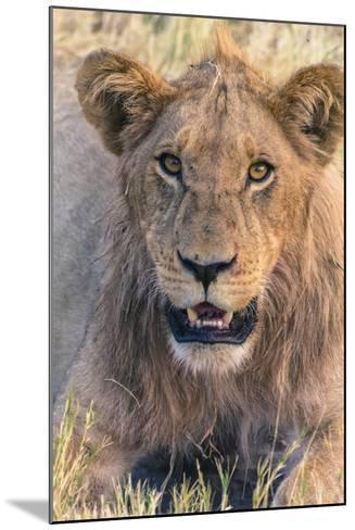 Botswana. Chobe National Park. Savuti. Young Male Lion Resting-Inger Hogstrom-Mounted Photographic Print