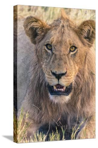 Botswana. Chobe National Park. Savuti. Young Male Lion Resting-Inger Hogstrom-Stretched Canvas Print