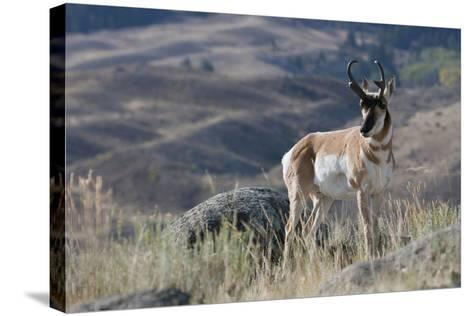 Pronghorn Antelope Buck-Ken Archer-Stretched Canvas Print
