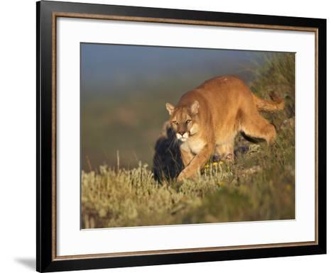 Mountain Lion Stalking Down the Hillside, Montana, Usa-Tim Fitzharris-Framed Art Print