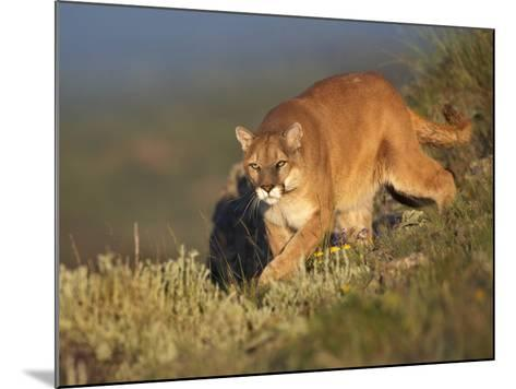 Mountain Lion Stalking Down the Hillside, Montana, Usa-Tim Fitzharris-Mounted Photographic Print