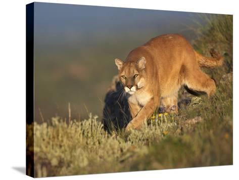 Mountain Lion Stalking Down the Hillside, Montana, Usa-Tim Fitzharris-Stretched Canvas Print