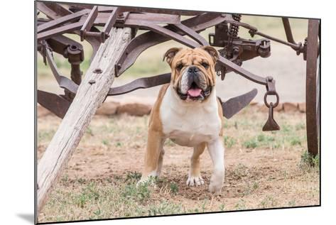 Bulldog Standing under Old Wagon-Zandria Muench Beraldo-Mounted Photographic Print