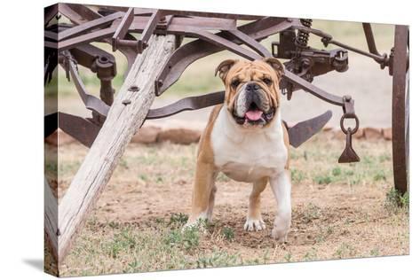 Bulldog Standing under Old Wagon-Zandria Muench Beraldo-Stretched Canvas Print