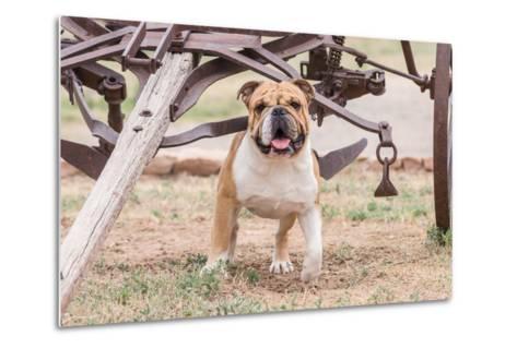 Bulldog Standing under Old Wagon-Zandria Muench Beraldo-Metal Print