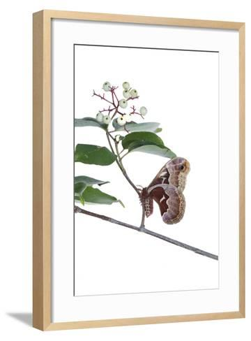 Promethea Moth Female on Gray Dogwood on White Background, Marion-Richard and Susan Day-Framed Art Print