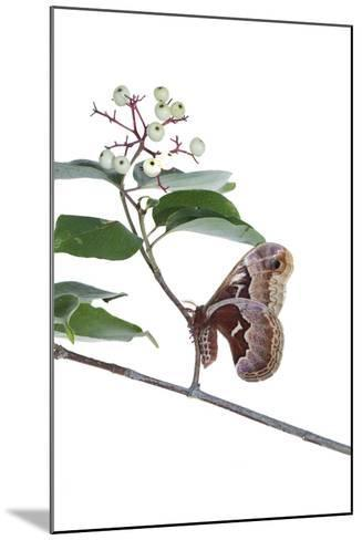 Promethea Moth Female on Gray Dogwood on White Background, Marion-Richard and Susan Day-Mounted Photographic Print