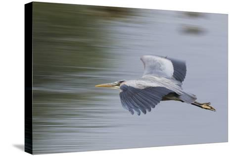 Great Blue Heron-Ken Archer-Stretched Canvas Print