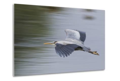 Great Blue Heron-Ken Archer-Metal Print