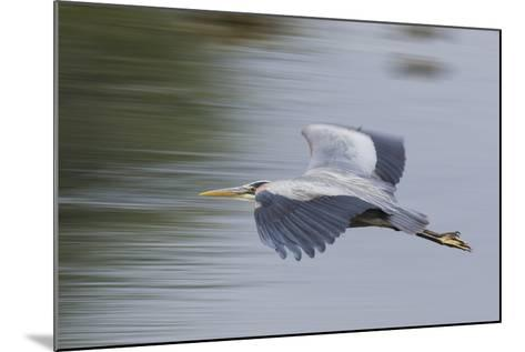 Great Blue Heron-Ken Archer-Mounted Photographic Print