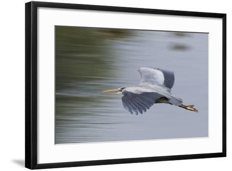 Great Blue Heron-Ken Archer-Framed Art Print