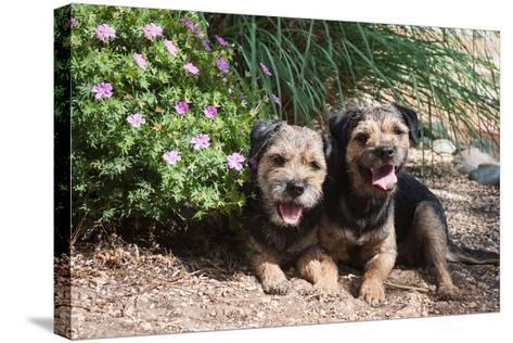 Border Terriers in a Garden-Zandria Muench Beraldo-Stretched Canvas Print