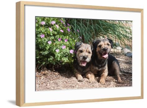 Border Terriers in a Garden-Zandria Muench Beraldo-Framed Art Print