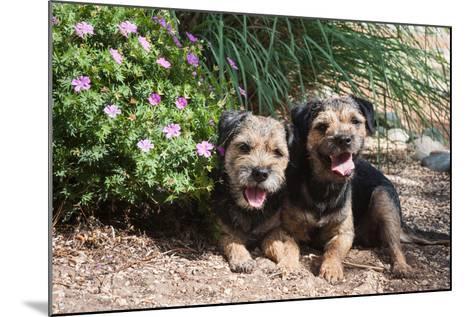 Border Terriers in a Garden-Zandria Muench Beraldo-Mounted Photographic Print