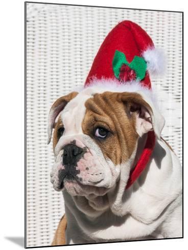 Bulldog Puppy with Christmas Hat on-Zandria Muench Beraldo-Mounted Photographic Print