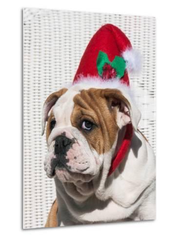 Bulldog Puppy with Christmas Hat on-Zandria Muench Beraldo-Metal Print