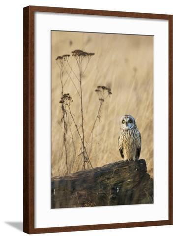 Short-Eared Owl-Ken Archer-Framed Art Print